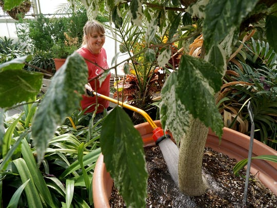 Laura Mast waters plants Tuesday afternoon in one of the greenhouses at Kingwood.