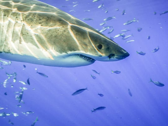 Mickey Smith photographed this great white while filming
