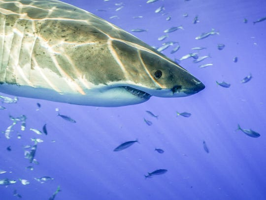 Mickey Smith photographed this great white while filming on Guadalupe Island, Mexico.
