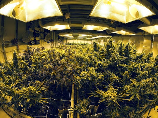 A growing room filled with maturing marijuana plants