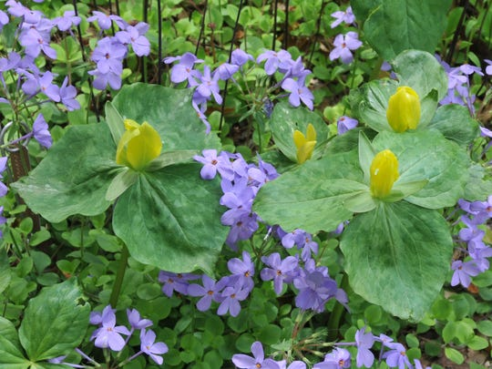 Yellow trillium (T. luteum) is a lemon-scented flower with erect petals.