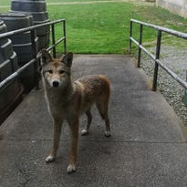 Coyote spotted right outside Butler hall