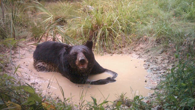 A bear cools off in the water in this photo taken with a trail camera set up by Hal Korber, photo and video specialist with the Pennsylvania Game Commission. Water sources are a great place to set up trail cameras, said Korber.
