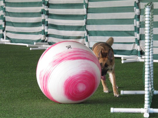 Riley, a 3-year-old German shepherd, nudges an exercise