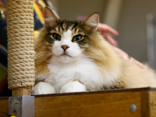 More than 200 cats were on exhibit during the Mid-Ohio Cat Fanciers show at the Richland County Fairgrounds on Saturday.