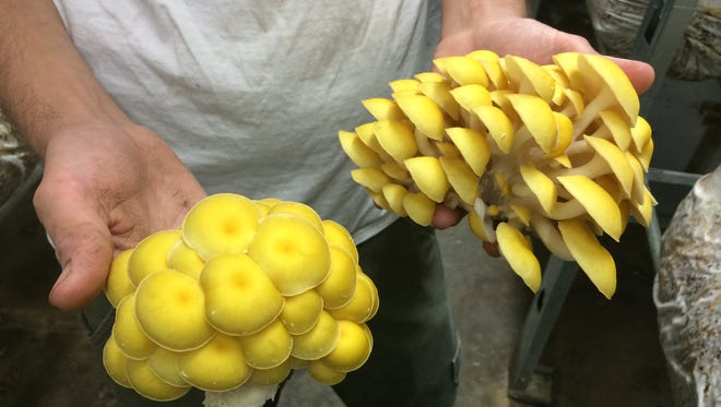 Drake Schutt, owner of Fiery Fungi, shows off his bright yellow oyster mushrooms.