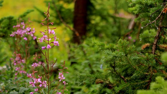 Fireweed blooms along the new Sunset Trail in Cedar
