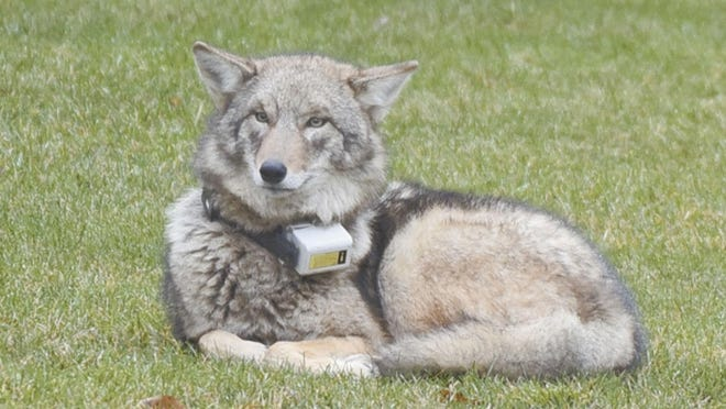 """Cliff"" the coyote -- seen in Middletown four years ago -- was targeted for shooting but was instead moved to an undisclosed location in the state. A new survery seeks to gauge Rhode Islanders' attitudes toward the wild animals."
