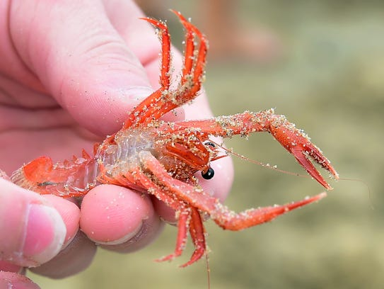A tiny red crab is displayed at Newport Beach on June