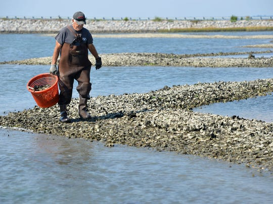 Stanley Jester, of Chincoteague, harvests oysters by hand at low tide in his oyster bed in the shallows of Chincoteague Bay.