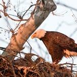 PHOTOS: Eagles along the Swatara Creek in Bethel Township
