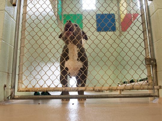 A Pit Bull named Maverick is shown in the kennels of the Cumberland County SPCA animal shelter, Thursday, Oct. 12, 2017. The shelter is facing closure.