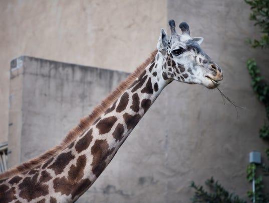 636482610559171601-LP-giraffe-120717-003.JPG