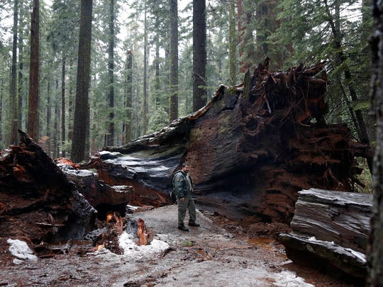 "California State Parks Supervising Ranger Tony Tealdi pauses by the roots of the fallen Pioneer Cabin Tree at Calaveras Big Trees State Park, Monday, Jan. 9, 2017, in Arnold, Calif. Famous for a ""drive-thru"" hole carved into its trunk, the giant sequoia was toppled over by a massive storm Sunday. (AP Photo/Rich Pedroncelli)"