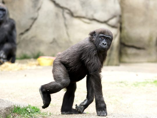 Gladys, a three-year-old Western lowland gorilla, looks