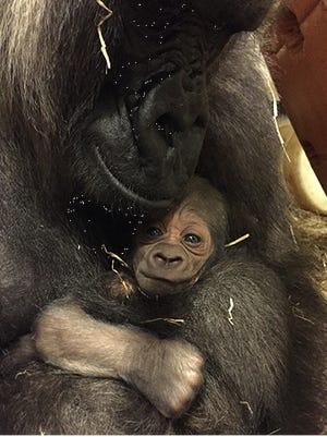 The Cincinnati Zoo's newborn gorilla with its mother Anju.