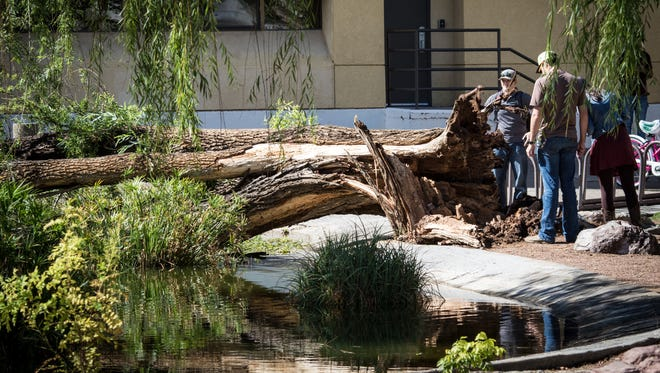 A 30-foot willow tree fell into the duck pond at Gerald Thomas Hall on the New Mexico State Campus sometime early Friday, Sept. 30. Officials believe a combination of insect damage and heavy rains felled the 40-year-old tree.