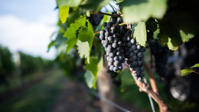 These grapes are just waiting to earn Beneduce Vineyard in Pittstown, high praise once again.