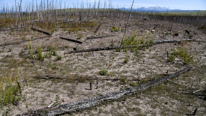 In a July 22, 2018 photo, charred lodgepole pines fell in the area that burned in the 2016 Maple fire in Yellowstone National Park. The Maple fire began and burned in its entirety in the 1988 fire scar. (Rachel Leathe/Bozeman Daily Chronicle via AP)