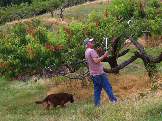 Russ Joudrey cuts off branches on his peach tree to