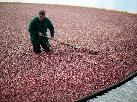 John Moss works on pushing cranberries towards a pump at Elm Lake Cranberry Company, Tuesday, Oct. 21, 2014. After the cranberries go through the pump they are then washed and fed into a truck.
