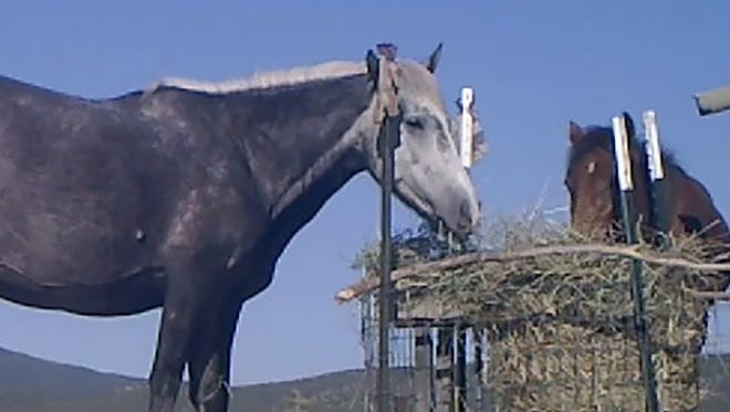 A wild horse feeds at a newly-designed station that is equipped to deliver a contraceptive shot in order to manage herd sizes.
