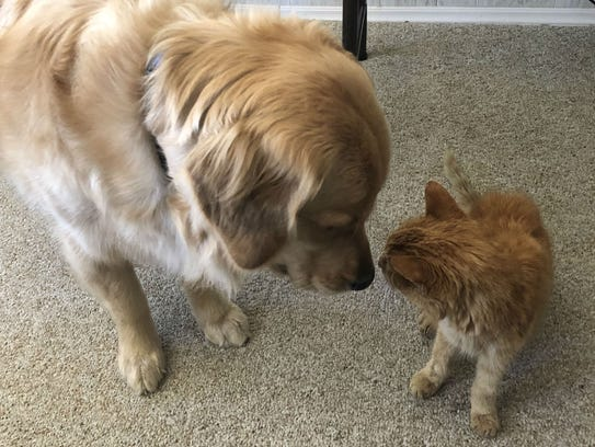 Sassy, Perry Martin's golden retriever, meets T2. The