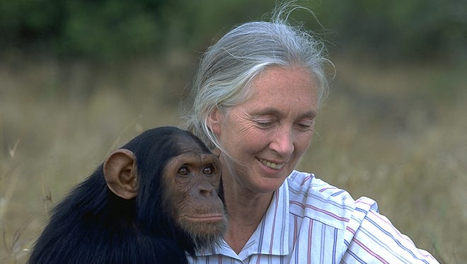 """The documentary """"Jane"""" examines the life of Jane Goodall, known for her exhaustive work with chimpanzees."""