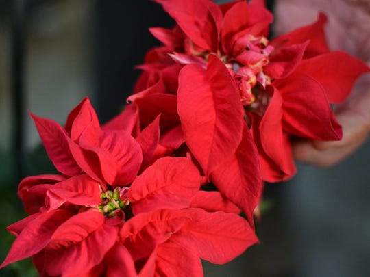 Poinsettias grown at Clemson University's greenhouse complex by Jim Faust, an associate professor in Clemson's plant and environmental sciences department.
