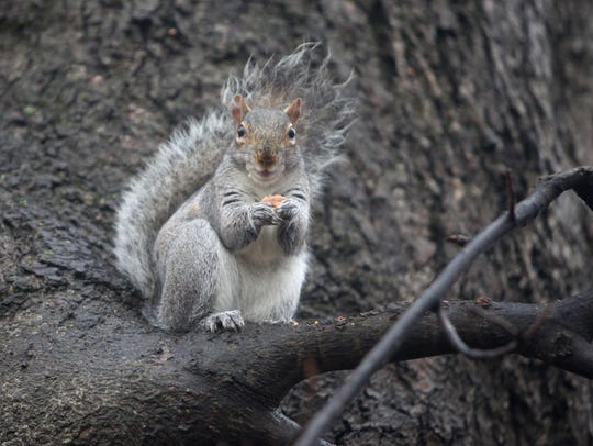 A squirrel is focused on his early morning snack as
