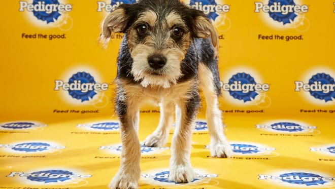 Kevin, a puppy from New Life Animal Rescue in Marlton, is featured in Puppy Bowl XII.