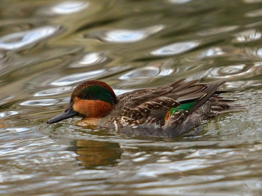 Green_Winged_Teal__Carol_Pedersen