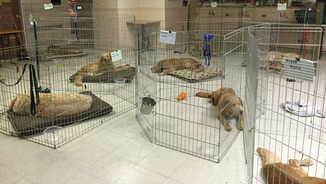 Rescued golden retrievers wait for entry into the United States following their flight from Turkey.