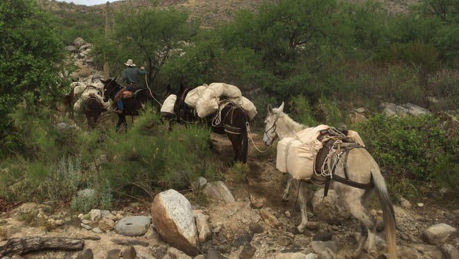 After successfully negotiating a desert wash, the mule train continues on a journey that would last hours through Saguaro National Park.