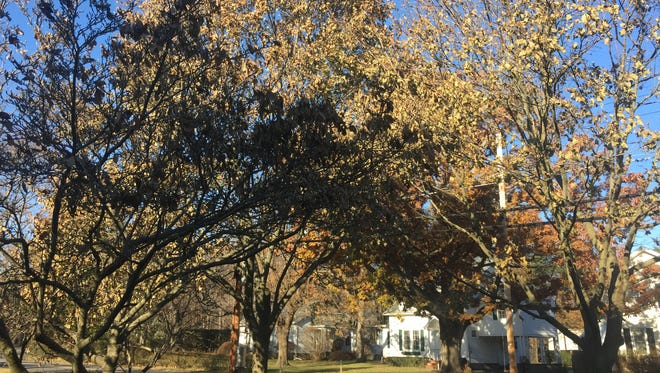 Many trees still are sporting leaves, even as December approaches. The leaves are remaining attached longer this year because of our warm temperatures in September and October.