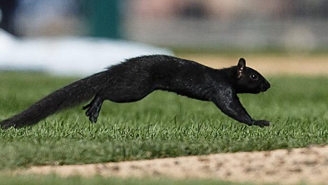Aug 6, 2015; A squirrel runs onto the field during the eighth inning of the game between the Detroit Tigers and the Kansas City Royals at Comerica Park.