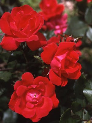 Add strong color appeal to a garden or landscape with one o r more low maintenance Knock Out red shrub roses. They are among the top sellers nationwide.