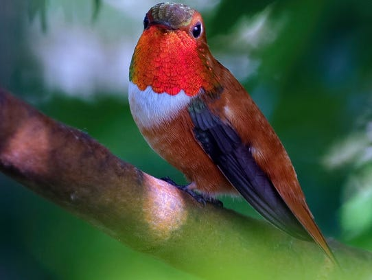 A male rufous hummingbird, the terror and tyrant at