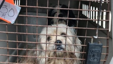 17 Shih Tzu and rat terrier mixes rescued in Indiana animal hoarding case