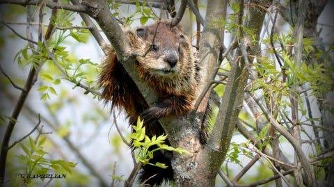 A woodchuck climbed a tree in George Kaprelian's backyard in June 2014.