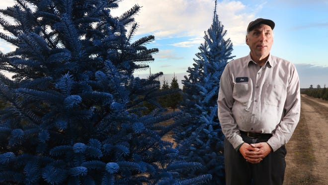 Jan Wolosek, co-owner of the Wolosek Christmas Tree Farm, is taking a bet with colored Christmas trees this year, introducing blue, red, frosted white and pink.