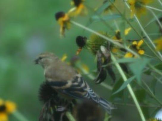 Goldfinch feeding on coneflower seeds