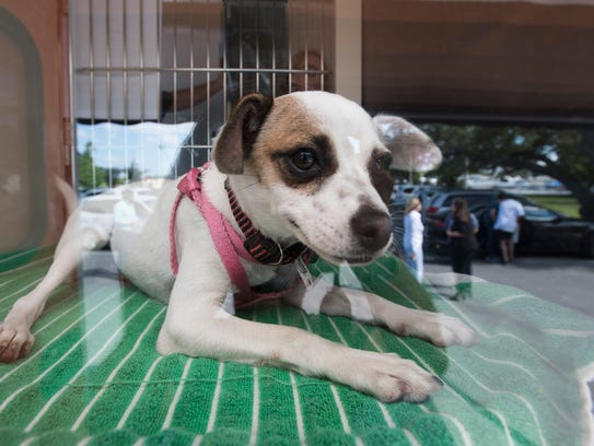 Prisca, a mix breed dog, waits for a new family in