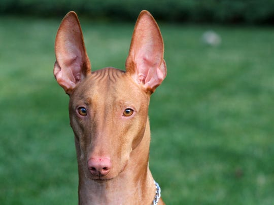 Osiris, a 3-year-old Egyptian Pharaoh Hound, owned by Tracy Lenahan of Howell and was in the hospital for five days because of xylitol poisoning, a sweetener commonly found in sugar-free gum, sits in the family's yard in Howell, NJ Monday December 14, 2015.