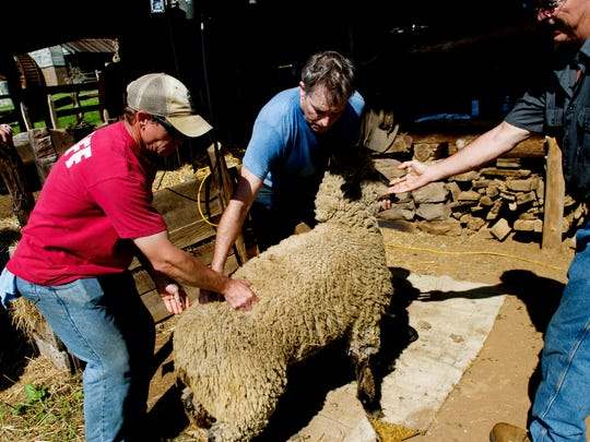 A sheep is brought out to be sheared during the sheep shearing demonstration at the Museum of Appalachia on Friday, April 21, 2017.