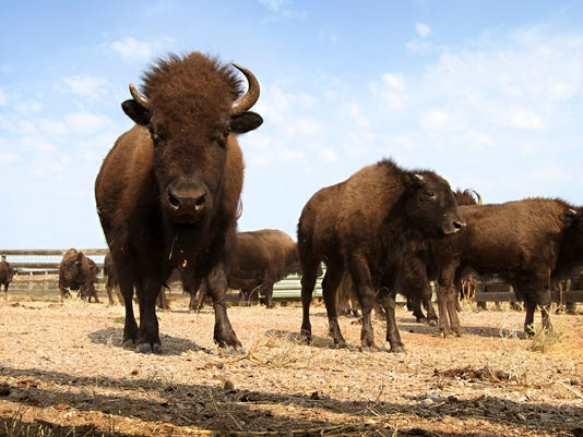 -FALBrd_06-12-2014_Tribune_1_M003~~2014~06~11~IMG_-bison_national_mamm_1_1_A.jpg