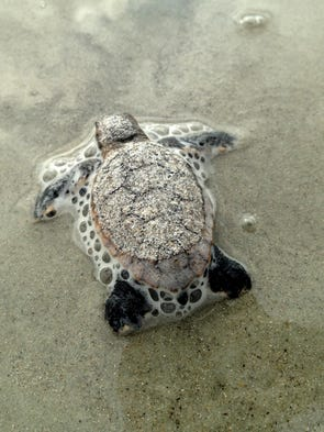 Sea turtle hatchlings usually make their way out of the nest during the night. This nest of Loggerhead hatchlings emerged at dawn Monday morning near 8th St South in Cocoa Beach.
