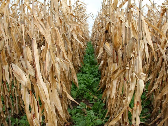 Interseeded cover crop into standing corn is a CSA