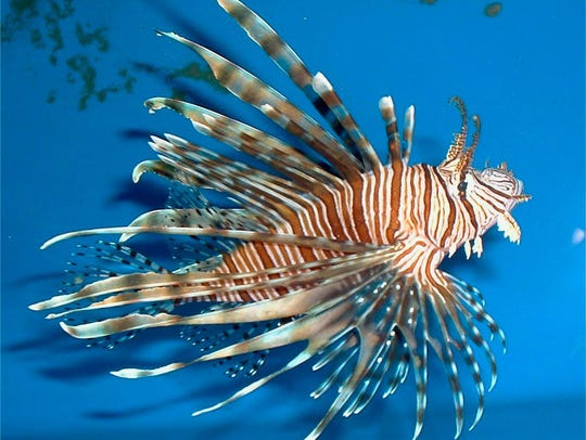 Lionfish like this one were the target of ocean divers in the 2016 Sebastian Lionfish Fest tournament out of Capt. Hiram's Resort.
