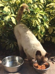 This sweet Siamese was found near Hair Mania at Randall Boulevard and Immokalee Road.